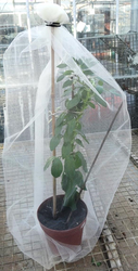Flowering bean in a net. Photo: Linda Birkin, 2013